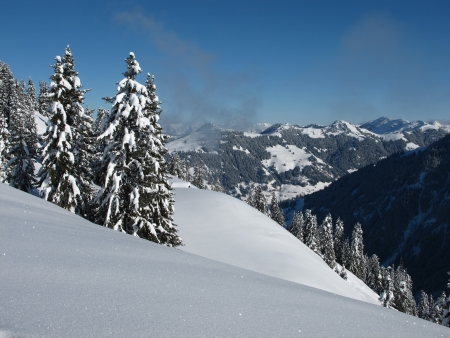 bernese oberland: Snow covered spruces in the Bernese Oberland