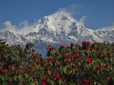 Peak of Dhaulagiri and red rhododendron Stock Photo