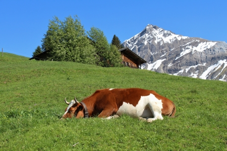 Sleeping cow on a green meadow, mountain and hut
