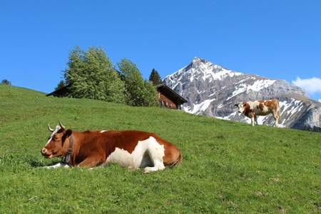 bernese oberland: Fleckvieh cattle in the Bernese Oberland, mountain