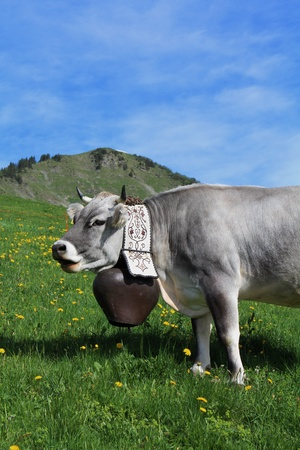 gstaad: Grey cow with beautiful bell Stock Photo