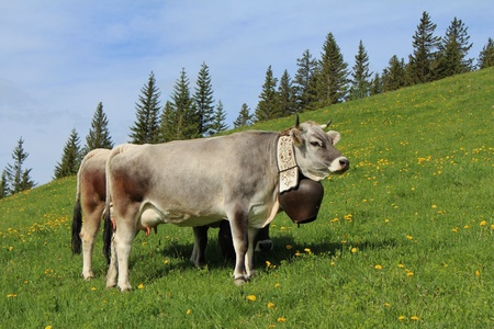 gstaad: Beautiful cow with bell on a a meadow in the Swiss Alps Stock Photo
