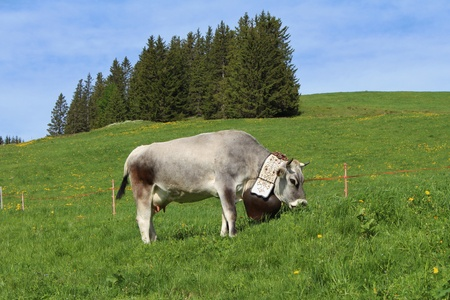Grazing cow with beautiful traditional bell, Bernese Oberland photo