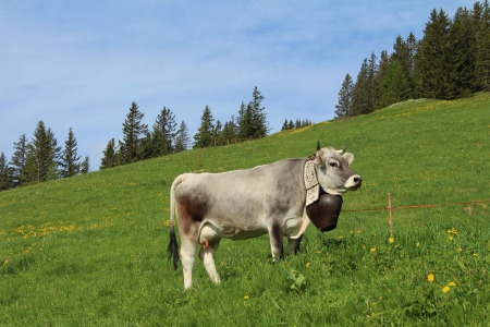 bernese oberland: Cow with beautiful bell on a meadow in the Bernese Oberland Stock Photo