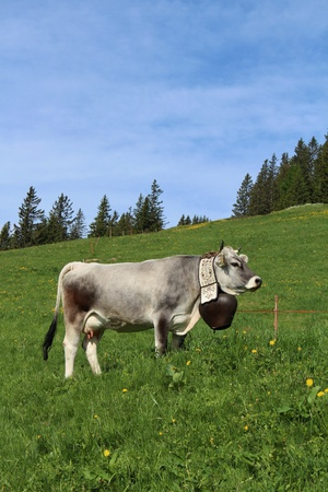gsteig bei gstaad: Cow with beautiful traditional bell, Bernese Oberland