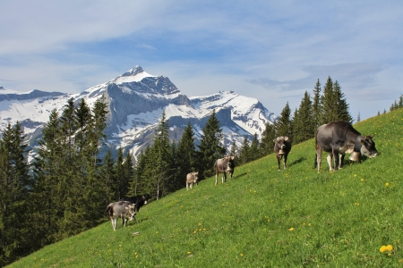 gsteig bei gstaad: Herd of grazing cows in front of the Oldenhorn, high mountain near Gstaad Stock Photo