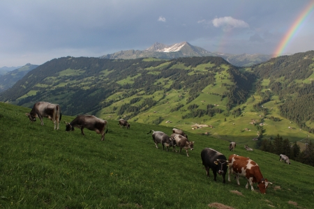gsteig bei gstaad: Herd of cattle grazing on a meadow near Gstaad Stock Photo