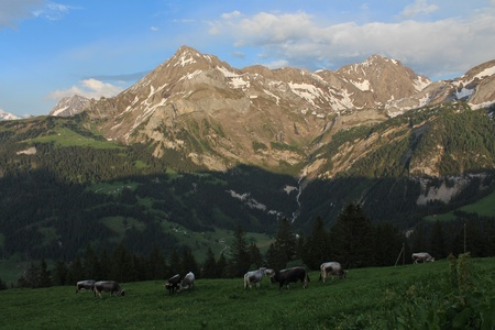 Evening in the Swiss Alps, grazing cattle in front of beautiful mountains