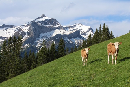 gsteig bei gstaad: Calves in front of the Oldenhorn, high mountain near Gstaad