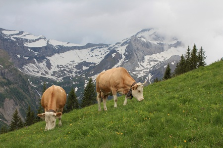 gsteig bei gstaad: Grazing Simmental Cows in the Bernese Oberland