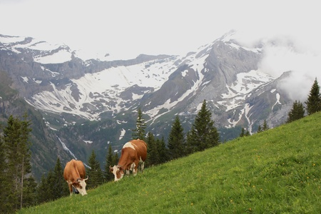 gsteig bei gstaad: Grazing cows in the Swiss Alps