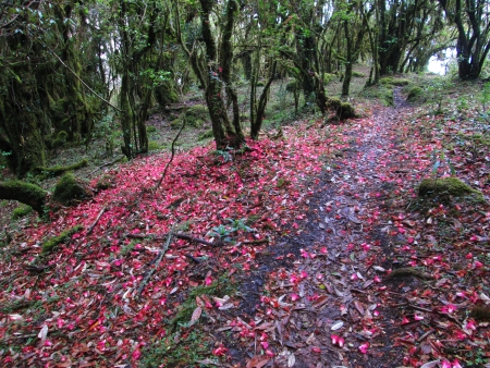 Foot-path in a rhododendron forest photo