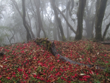 Red carped of flowers, rhododendron flowers on the forest floor photo