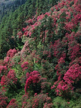Pink forest, flowering rhododendron in Nepal photo