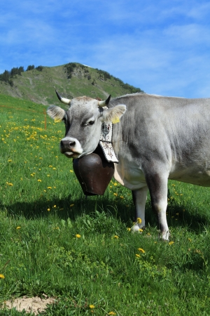 Cow making a face
