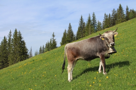 gsteig bei gstaad: Young cow on a green mountain meadow