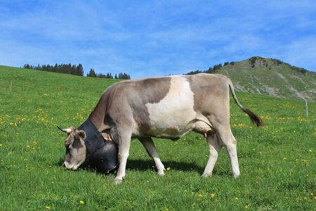 Grazing cow on a green meadow photo