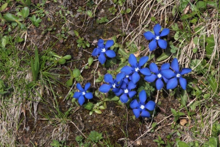 bernese oberland: Beautiful little gentians growing in the Bernese Oberland