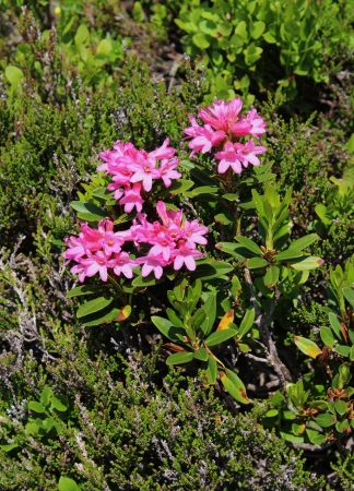 Alpenrosen, beautiful little wildflowers belonging to the rhododendron family