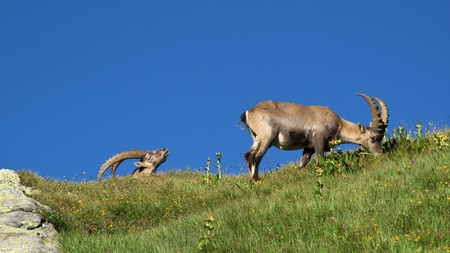 Two alpine ibex on a meadow in the Swiss Alps photo