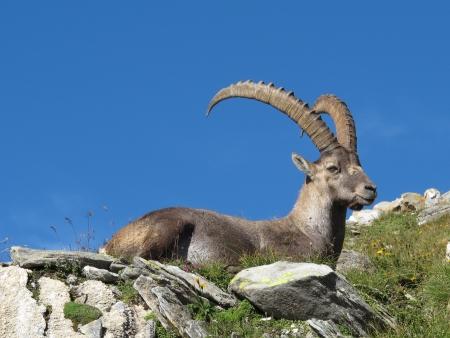 Beautiful lying alpine ibex