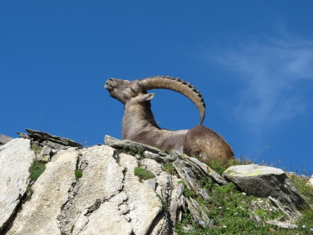 Lying alpine ibex scratching his back with his horns photo