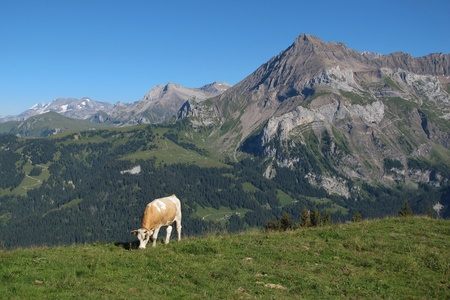 Grazing Simmental Cow in front of a mountain Stock Photo