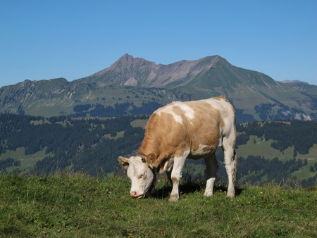 Young grazing cow in front of the Oldenhorn, mountain in the Bernese Oberland photo
