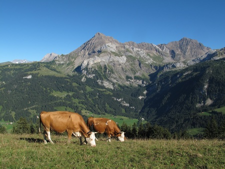 Grazing Simmental Cows in Gsteig bei Gstaad and mountains photo