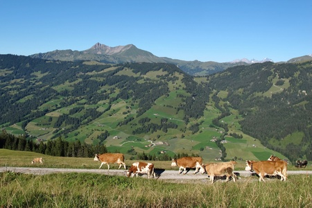 gstaad: Simmental cows on a farm near Gstaad, Swiss Alps