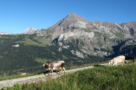 spitzhorn: Raetisches Grauvieh, rare breed of cows and mountain Stock Photo