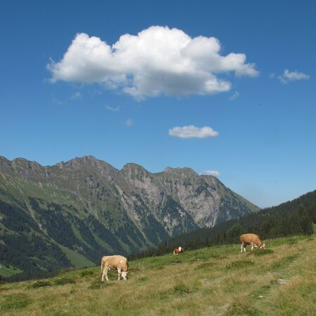 Summer scene in the Bernese Oberland, grazing cows and mountain photo