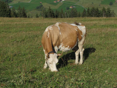 Grazing Simmental Cow photo