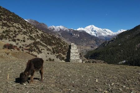 snow capped: Becerro de pastoreo y cumbres nevadas de Pisang Pico