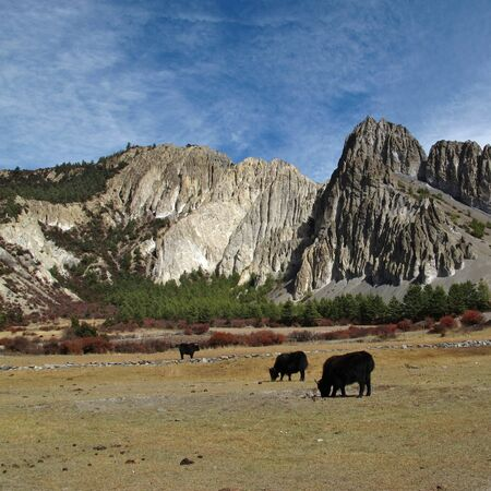 conservation grazing: Grazing yaks in front of limestone formations, Nepal Stock Photo