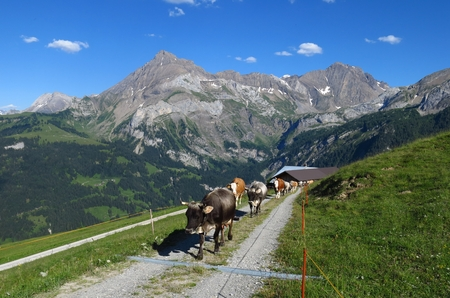 canton berne: Walking cows and mountains in the Swiss Alps