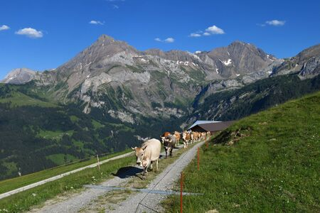 canton berne: Cows and mountains, scene near Gstaad