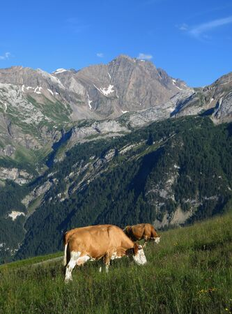 Grazing cows and Arbelistock, scene in Gsteig bei Gstaad