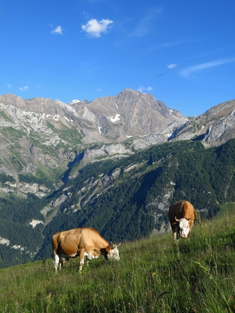 Grazing cows and mountain photo
