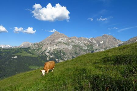 Grazing cow and Spitzhorn, mountain in the Bernese Oberland photo