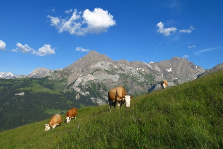 gsteig bei gstaad: Grazing cows and Spitzhorn, mountain near Gstaad Stock Photo