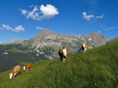 Grazing cows and mountains in the Swiss Alps Stock Photo