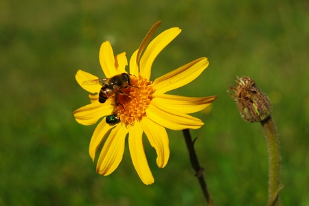 Arnica: Arnica Montana with bee