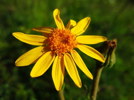 Arnica Montana, medicinal plant growing in the Alps photo