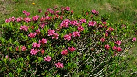 Alpenrosen, wildflowers growing in the Alps