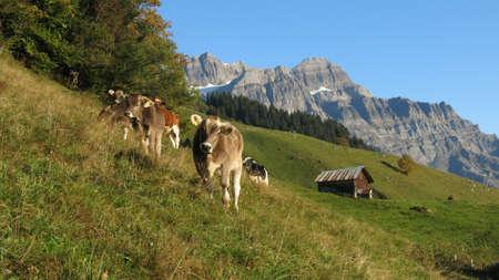 glarus: Grazing calves in Glarus Stock Photo