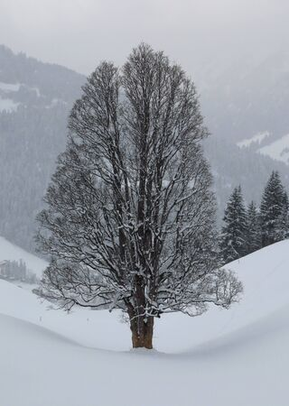 Big old maple tree in winter photo