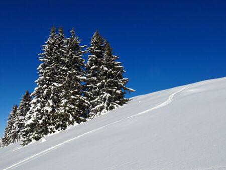 powder snow: Powder snow and spruces, winter background