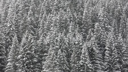 saanenland: Pine forest in winter Stock Photo