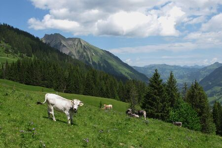saanenland: Young cows on a mountain meadow near Gstaad Stock Photo